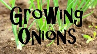 How to Plant, Grow, & Harvest Onions from Start to Finish