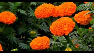 Flowers Of india - Beautiful Marigold Flower Nursery 2016