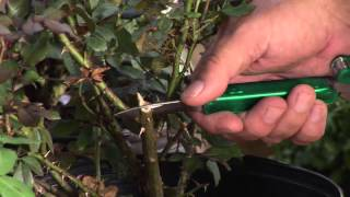 Rose Grafting Techniques
