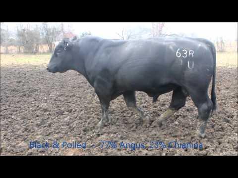 Xxx Mp4 Chiangus Bull Breeding Cows At CK Cattle 3gp Sex