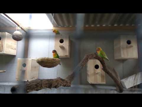 LOVEBIRD kandang koloni