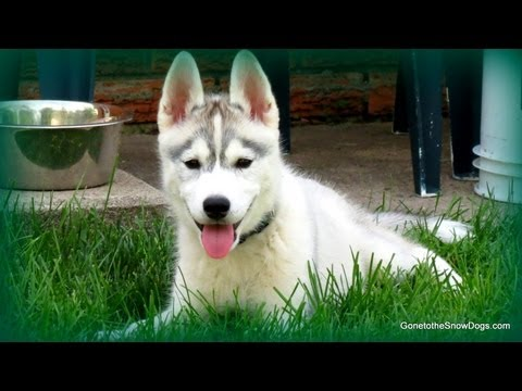 HOW TO POTTY TRAIN YOUR PUPPY EASILY | Potty Train your Puppy Siberian Husky