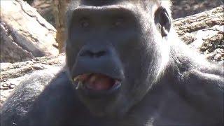 Gorilla's Lunch