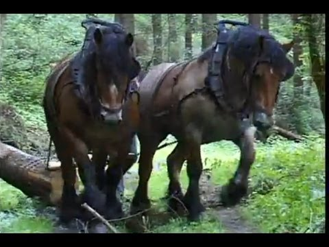 Strong Belgian Draft Horses Horses Moving Logs