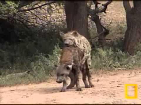 Africa Salvaje Como Sucede El Apareamiento De Las Hienas