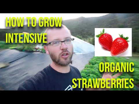 Xxx Mp4 HOW TO Grow Intensive Organic Strawberries 3gp Sex