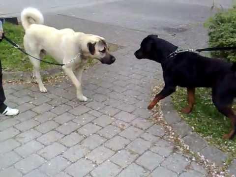 Rottweiler vs. Kangal Dangerous Meeting
