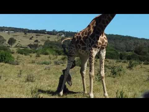 Wild Giraffe giving birth at Kragga Kamma Game Park
