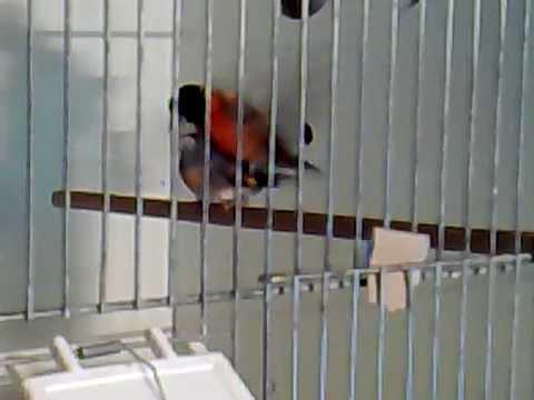 cucullata jilguero goldfinch kapoetsensijs kapoets carduelis