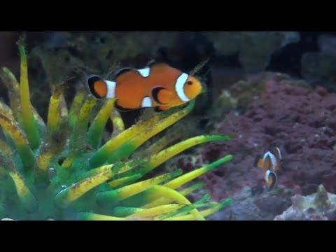 Xxx Mp4 Sex Changing Clownfish 4 Min 3gp Sex