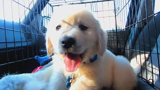 One Year with a Golden Retriever Puppy