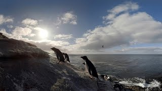 Walk with penguins: Virtual reality video shows how it is to live among the birds