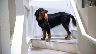 Can This Playful Rescue Dog Get The Hang Of The Service Dog Lifestyle?