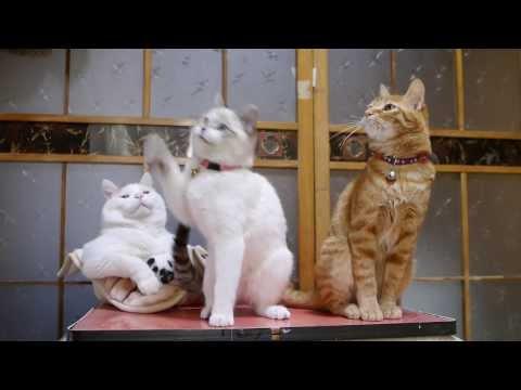 かご猫 x  猫柳 Pussy willow and cat
