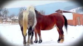 Giant Horse Breeding - Horse Mating In The Beautiful Girl Farm