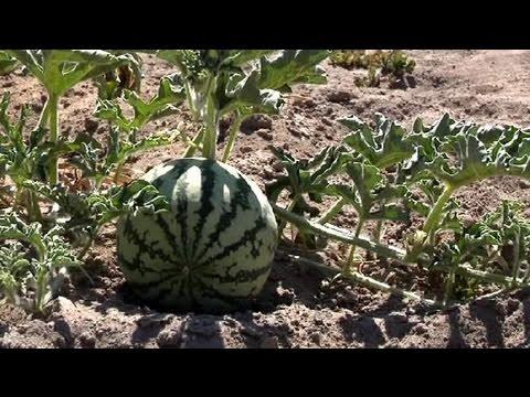 Cómo cultivar sandías