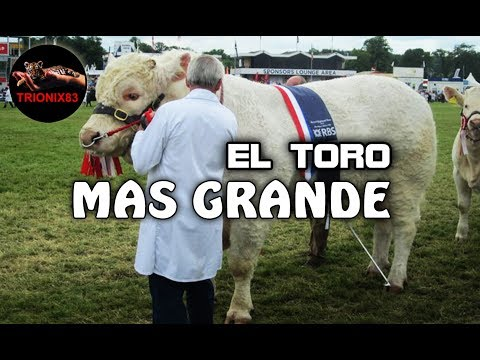 EL TORO MAS GRANDE DEL MUNDO – Los toros mas grandes del mundo – Toros Gigantes