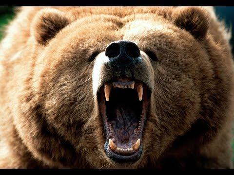 Ataque de um urso pardo Cenas Fortes