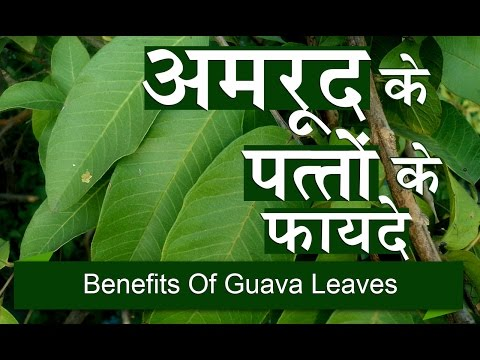 Xxx Mp4 अमरुद के पत्तों के फायदे Benefits Of Guava Leaves For Weight Loss Liver In Hindi 3gp Sex