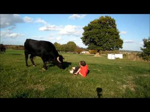 O touro pode ser o melhor amigo do homem