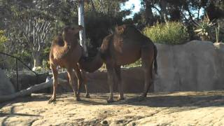 Camel Foreplay