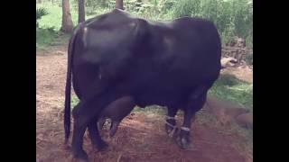 Murrah buffalo  milk record 27.41 kg per day