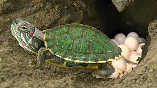 Red Eared Slider Turtle covering her nest and laying egg- Baby Turtle hatching