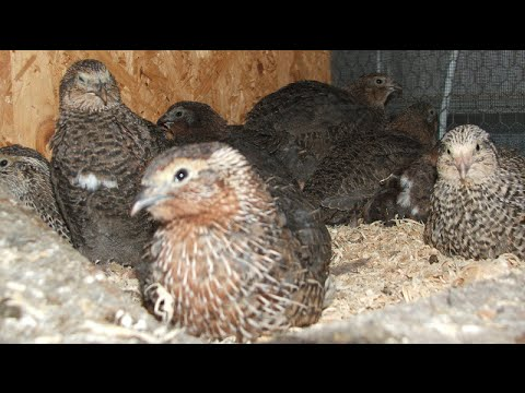 japanese quail farming in bengali