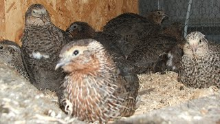 japanese quail farming in bengali