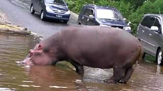 Download Funny Hippo - Jakarta Zoo 3Gp Mp4