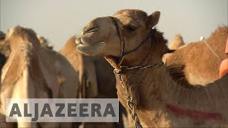 🇶🇦 🇸🇦 Saudi blockade on Qatar sabotages multi-billion dollar camel business