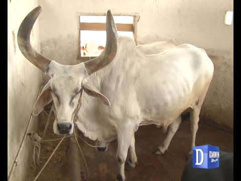 famous chand Cow in nazimabad