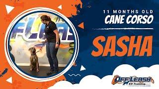 11-Month Old Cane Corse, Sasha!  Cane Corso Dog Training | Off Leash K9 Training