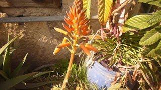 تفتح ورد الالولفيرا و شجرة الحمضيات ونباتات اخرى على السطح