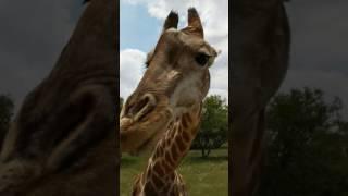 Feeding a giraffe in South Africa