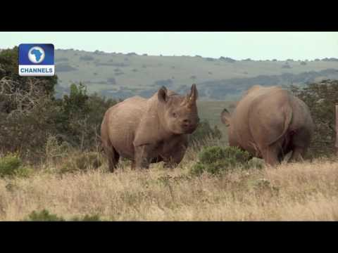 21st Century: Black Rhinos Of Namibia Struggle To Survive Against Drought And Poaching