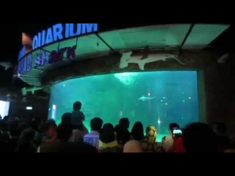 Pemberian makan ikan hiu martil