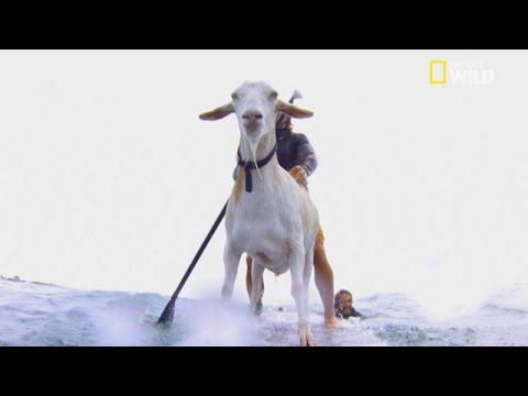 Xxx Mp4 Une Chèvre Fait Du Surf 3gp Sex