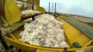 Cotton in the Bootheel