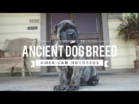 Xxx Mp4 AMERICAN MOLOSSUS A RECREATION OF AN ANCIENT DOG BREED 3gp Sex