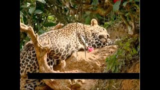Leopard trapped, caught by forest department in Wayanad
