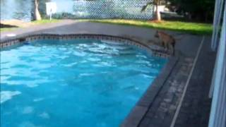 UKC Prodigy's Hidden Treasure Jewels (APBT Swimming)