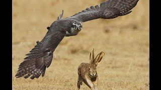 Most epic Goshaw Hunting Jack Rabbit Attack moments in HD