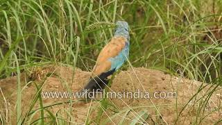 Indian Roller is the state bird of Telangana in India