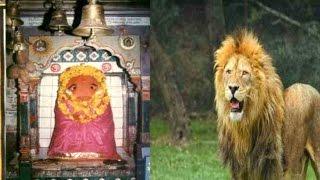 मां के दरबार में नवरात्रों के दौरान शेर लगाता है झाडू, करता है मंदिर की सफाई