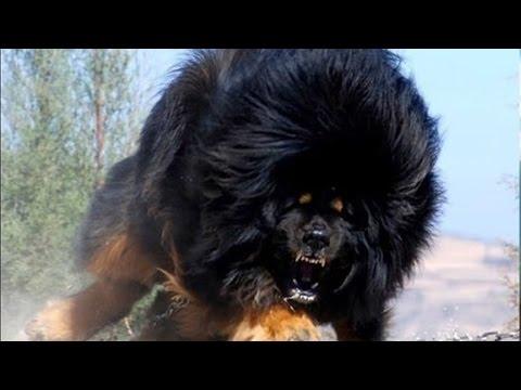 Xxx Mp4 दुनिया के 10 सबसे खतरनाक नस्ल वाले कुत्ते Most Dangerous Dog Breeds In The World 3gp Sex