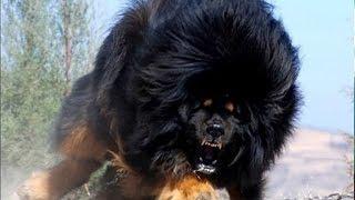 दुनिया के 10 सबसे खतरनाक नस्ल वाले कुत्ते | Most dangerous dog breeds in the world