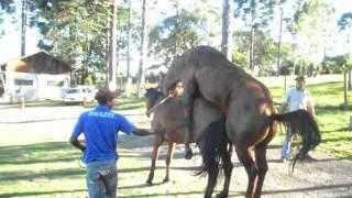 cavalo cobrindo égua do edson