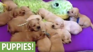 Litter of puppies adorably sing in unison