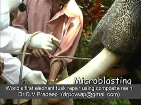 Elephant Tusk Repair using composite resin World s First